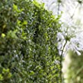 Hoher Buchsbaum, Buxus sempervirens arborescens 0,5 L Topf von PFD von Pflanzen für Dich bei Du und dein Garten