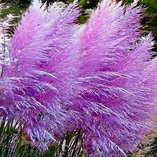 Lila Pampasgras (Cortaderia selloana) / Ziergras / 50 Samen/farbenfroher Blütenstand in violett/pink