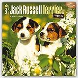 Jack Russell Terrier Puppies 2016 Calendar
