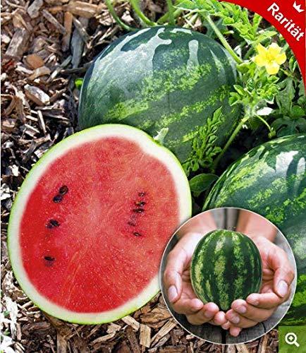 Qulista Samenhaus - 10pcs Selten Mini-Wassermelone Obstsamen mehrjährig winterhart saftig für Balkon, Terrasse & Garten