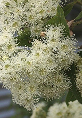 seedeo-roter-fluss-eukalyptus-eucalyptus-camaldulensis-200-samen