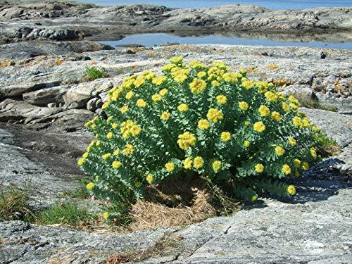 Asklepios-seeds - 100 Samen Rhodiola rosea, Rosenwurz, seltene Heilpflanze -