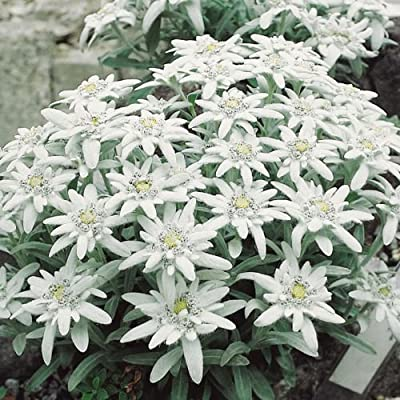 Alpen-Edelweiß - Leontopodium alpinum - weiß blühende, sternförmige Blüten - Steingartenstaude im 9 cm Topf - frisch aus der Gärtnerei - Pflanzen-Kölle Gartenstaude von Kölle auf Du und dein Garten