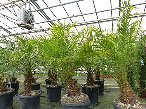 Zwergdattelpalme Phoenix Roebelenii Zimmerpflanze Palme pflegeleicht (L)
