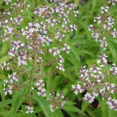 verveine-citronnelle-aloysia-triphylla
