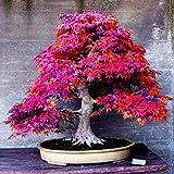 8 Arten Bonsai-Baum-Samen Seltene Maple Samen Pflanzen Topf Klage für DIY Hausgarten Japanischer Ahorn-Samen 20 PC / Kinds