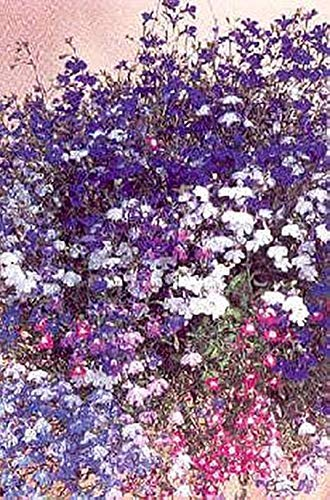 Pase Seeds Lobelia Regatta Series Mix Annual Seeds -