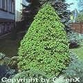 Zuckerhut Fichte 100-125cm - Picea glauca von Baumschule bei Du und dein Garten