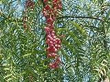 Peruanischer Pfefferbaum Schinus molle Pflanze 20cm rosa Pfeffer Gewürz Rarität