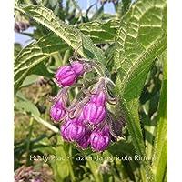 CONSOLIDA MAGGIORE 30 SEMI Symphytum Officinale Comfrey concime organico naturale aromatica