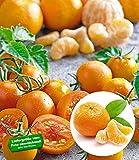 BALDUR-Garten Tomate Tutti Frutti Mandarine 1 Pflanze mit Mandarinen-Aroma