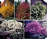 Dominik Blumen und Pflanzen, Blütenhecke, bestehend aus je 2 Sträuchern der Sorte Maiblumenstrauch weiß blühend, Goldglöckchen gelb blühend, Zierjohannisbeere rot blühend, Schneeball weiß blühend, Japanische Zierkirsche rosa blühend