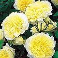 David Austin Rose The Pilgrim - Topfrose Buschrose im 5 Liter-Topf von David Austin - Du und dein Garten