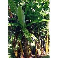 TROPICA – Plátano macho (Musa ba