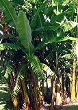 TROPICA - Plátano macho (Musa balbisiana) - 10 semillas- Resistente invierno