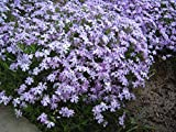 Polsterphlox, Phlox subulata 'Emerald Cushion Blue' im 9cm Topf