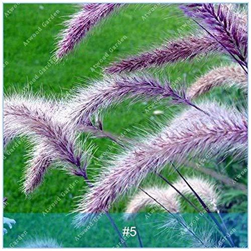 Shopmeeko SEEDS: ZLKING 100PCS Pennisetum Gras Bonsaipflanzen für Hausgarten-Naturrasenteppich schnell wachsende Pflanze: 5 -