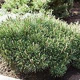 Zwerg Kiefer Pinus mugo 'Pumilio' Ziergehölz als Kübel oder Beetpflanze - Topf gewachsen