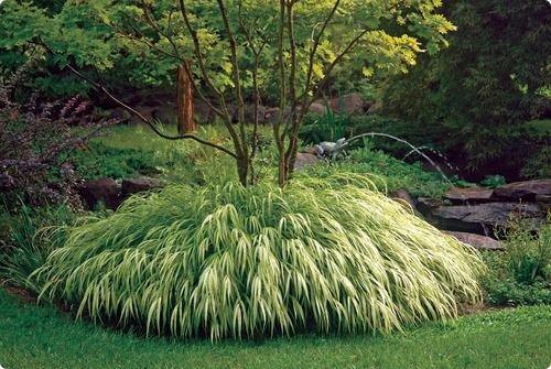 En soldes! Semences de l'herbe Herbe Buisson Ardent Kochia Scoparia Seeds Red Garden ornemental de grossissement facile de vivaces
