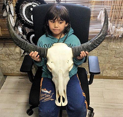 longhorn-stierkopf-testa-di-bufalo-naturale-bffelkopf-natur-longhorn-real-longhorn-carved-real-bone-