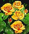 BALDUR-Garten Edelrosen 'Maja Oetker®', 1 Pflanze von Baldur-Garten - Du und dein Garten