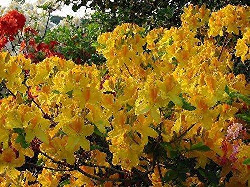Rhododendron Gelbe Blätter rhododendron gelb
