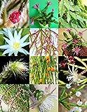 Rhipsalis MIX selten Nacht blühende Pflanze exotische Kaktusblume Sukkulenten 20 Samen
