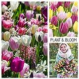 Plant & Bloom - Bulbes de Tulipes à fleurs simples précoces d'Hollande - 35 ampoules, plantation d'automne, faciles à cultiver, floraison printanière -Violettes Jaunes Roses- Qualité supérieure
