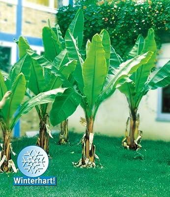 BALDUR-Garten Winterharte Bananen 'grün', 1 Pflanze, Musa basjoo von Baldur-Garten - Du und dein Garten