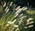 Kleines weißes Zwerg Lampenputzergras - Pennisetum alopecuroides Little Bunny - verschiedene Größen von GardenPalms auf Du und dein Garten