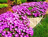 AGROBITS 100 pc/Bag Sale! Delosperma Cooperi Table Mountain Tasty facile Bonsai vegetale giardino domestico di DIY Pianta che cresce