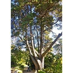 TROPICA - Monterey-Zypresse ( Cupressus macrocarpa ) - 50 Samen