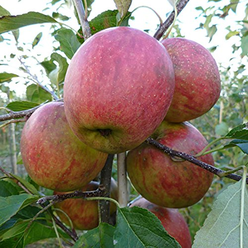 1-m-apple-discovery-fruit-tree-in-5-litre-pot