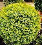 PLAT FIRM GERMINATIONSAMEN: Golden Globe Lebensbaum Evergreen 15 Samen Herrliche goldene Laub das ganze Jahr!