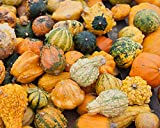 Calabaza ornamental mezclada semillas - Cucurbita pepo
