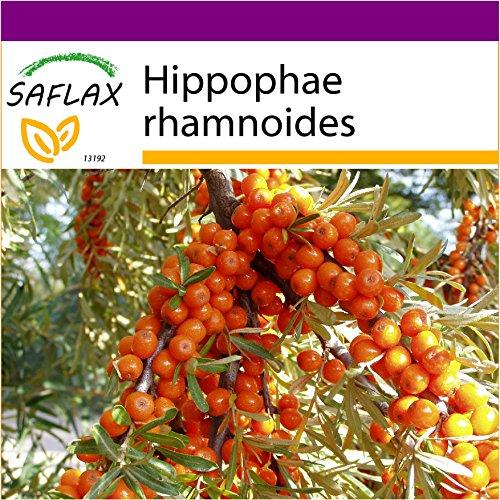 SAFLAX - Big Garden - Sanddorn - 40 Samen - Hippophae rhamnoides