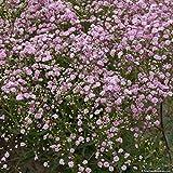 Portal Cool La respiración de Gypsophila. Baby * Venta !! * 6 Blanco / Rosa Hardy Per. Plants. Fab Para Ramos