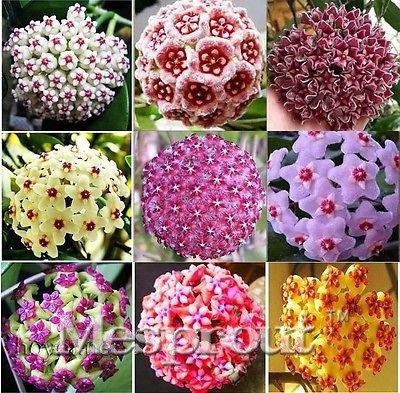 20 / bag rara china fiore di orchidea malitong, facile da coltivare molto belli semi di fiori da piantare giardino di casa