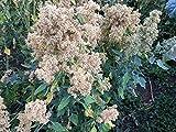 CSNCH 100 Seeds - Quinoa Plant Seeds- 'Mint Vanilla- Large Heads Ripen Uniformly, New Variety !