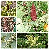 Italienisch Rhus Typhina Seed Essigbaum Baum Samen Perennial Bonsai-Baum-Topfpflanze Hausgarten Zierpflanze 100 Stück