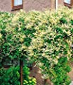BALDUR-Garten Schling-Knöterich Schnellwachsende Kletterpflanze, 1 Pflanze Polygonum aubertii von Baldur-Garten auf Du und dein Garten