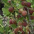 3 er Set Stachelbeer-Stamm, bestehend aus den Sorten Hinnonmäcki® rot, Hinnonmäcki® gelb, Invicta® grün von Amazon.de Pflanzenservice auf Du und dein Garten