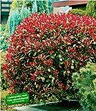 BALDUR-Garten Immergrün Photinia-Hecke 'Red Robin', 1 Pflanze Glanzmispel winterhart