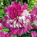 Pfingstrose Celebrity - 1 pflanze von Meingartenshop auf Du und dein Garten