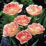 Gefüllte Späte Tulpe Angelique - 10 blumenzwiebeln