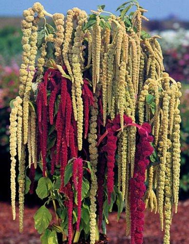 Hast du einen zu verkaufen? Verkaufen Sie jetzt Details zu Love Lies Bleeding Samen, Farm-Mix, Tassle Blume, Amaranthus, 50ct Erbstück -