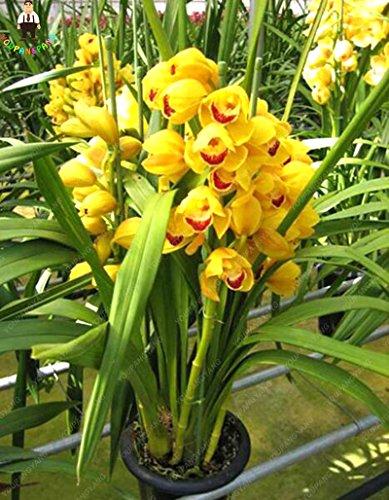 100 Papillon jaune Orchidée semencier japonais Rhynchostylis Orchid World Rare Dendrobium Fleurs Orchidee de plantation Jardin & Maison