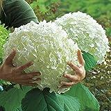 Bornbayb 50 pezzi semi di ortensia semi di semi di bonsai fiore semi per giardino di casa