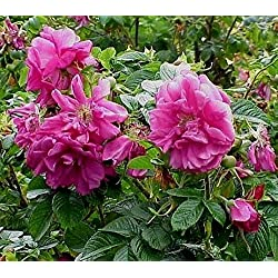 ASTONISH Semi Pacchetto: 40 semi: Rosa Rugosa giapponese Beach Rose Arbusto rosa selvaggio bianco Hardy Salt Coast Seeds