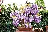 Glicine viola h 110 cm, diametro nebari 32 cm, pianta bonsai dall'anno 2006